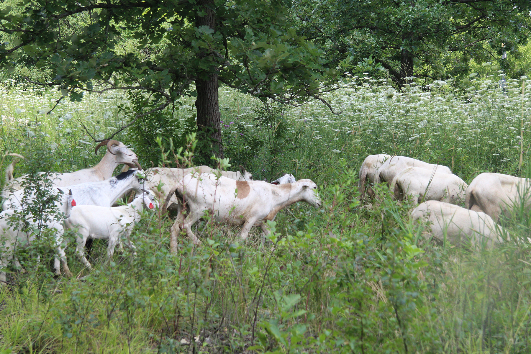 A herd of 68 goats and sheep graze at two natural areas at the